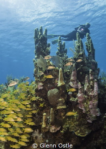 Diver over large pillar coral at Fish Tank in Grand Cayma... by Glenn Ostle